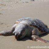 Tartaruga marina trovata morta sulla spiaggia verso lo Schiapparo
