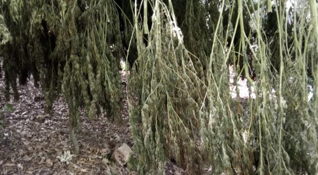 San Nicandro Garganico, Gdf scova 60 piante di marijuana stese ad essiccare nel bosco