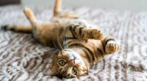 Microchip obbligatorio anche per i gatti, in Puglia: è legge