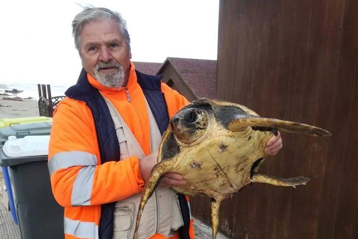 SAN MENAIO: Mareggiata spiaggia tartaruga Caretta, due operatori ecologici la salvano